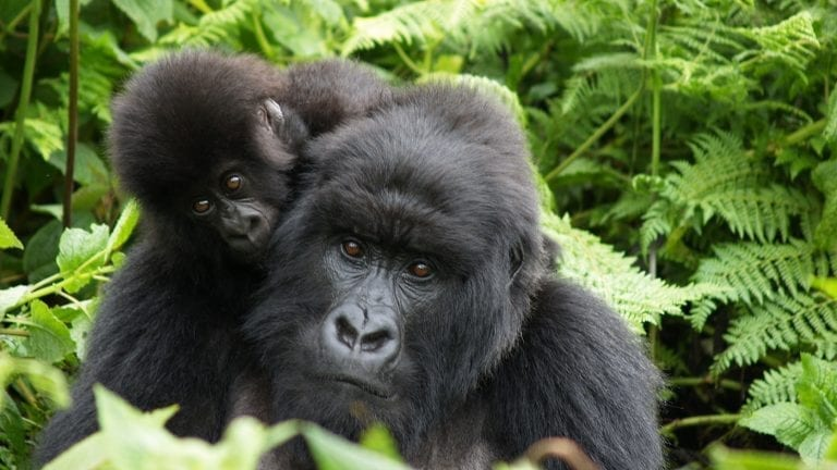 responsible-travel-ideas-africa-gorillas