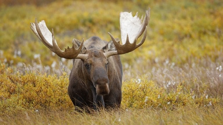 responsible-travel-ideas-alaska-moose