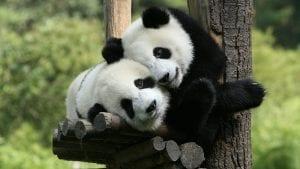 responsible-travel-ideas-china-pandas