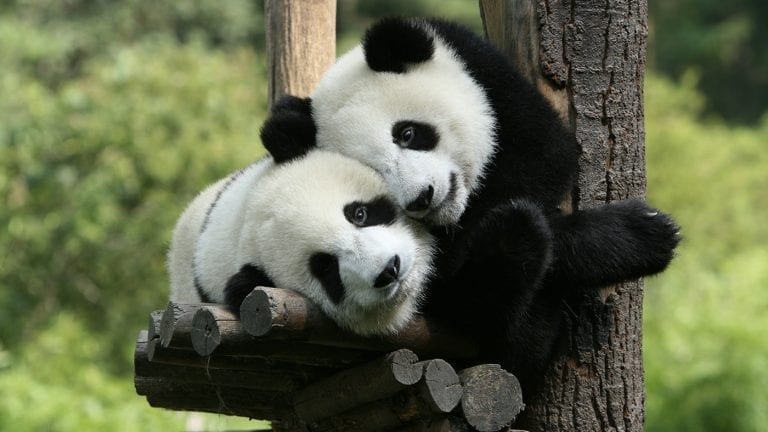 responsible-travel-ideas-china-pandas
