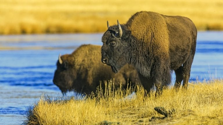 responsible-travel-ideas-yellowstone-bison