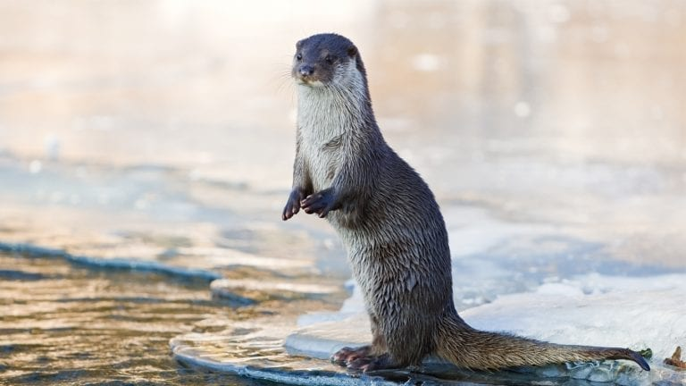 citizen-scientist-trip-ideas-great-smoky-mountains-otters