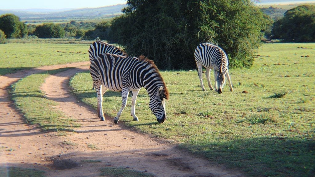 trip-to-south-africa-opt-for-change-zebras