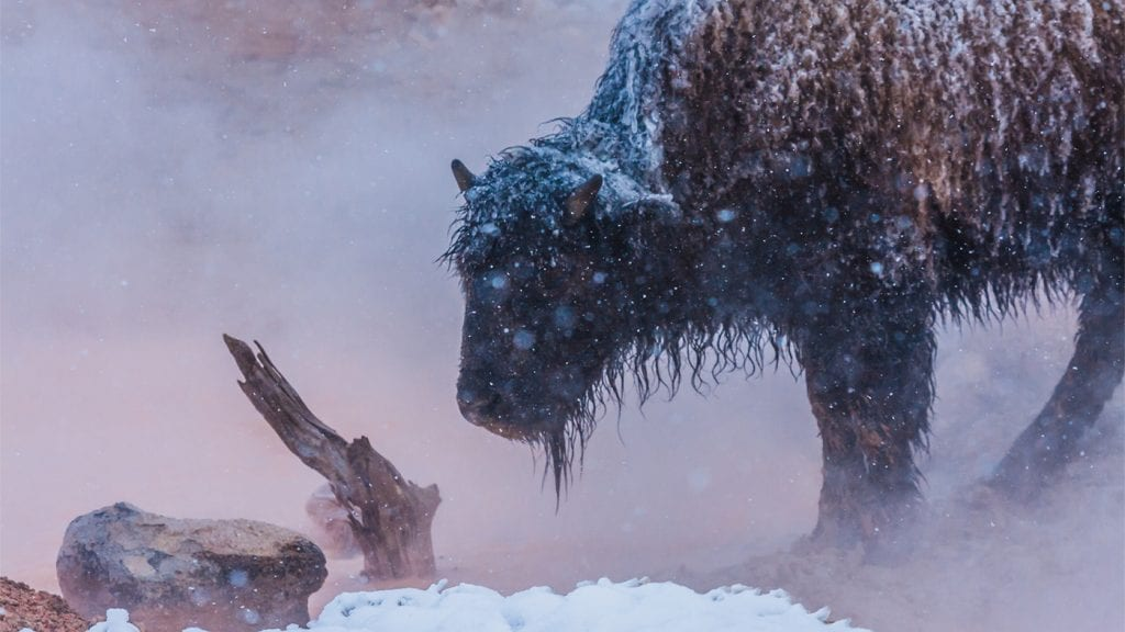 travel-lessons-bison-yellowstone